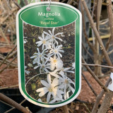 Magnolia stell. 'Royal Star' - 5L