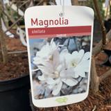 Magnolia stellata - 5L