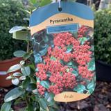 Pyracantha Saphyr Red - 4ltr pot