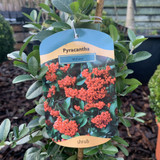 """Pyracantha 'Mohave"""""""