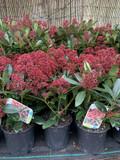 Skimmia jap. 'Rubella' - 12+ blooms