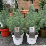Pinus Silver Crest (dwarf pine)