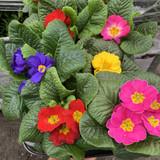 Mixture of 5 primrose plants