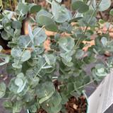 Eucalyptus gunni 'Azura' -3L