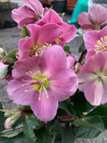 Hellebore frost kiss 'Penny's Pink'