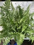 Polystichum tsus-simense - XL