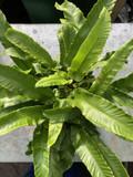 Asplenium scolopendrium (Fern) - XL