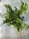 Polypodium vulgare (fern) - M