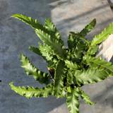 Asplenium scolopendrium 'Angustifolium' - S