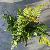 Dryopteris erythrosora 'Brilliance' (Fern) - S