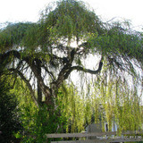 Betula 'Youngii' 200/250 (Young's Weeping Birch)