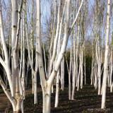 Betula utilis 'Snowqueen' 200/250 feathered