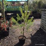Pinus sylvestris - 100/120cm