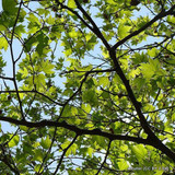Platanus acerifolia (London Plane) - 10/12cm