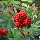 Sorbus auc. 'Cardinal Royal' 200/250cm