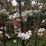 Sorbus cashmiriana - 175/200cm