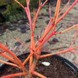 Cornus sanguinea 'Anny's Winter Orange' -  3ltr pot
