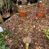 Forsythia 'Lynwood' - 5ltr pot