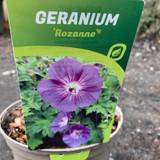Geranium Rozanne - 3ltr