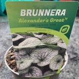 Brunnera  'Alexanders Great' 3ltr pot
