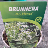 "Brunnera ""Mr Morse' - 3ltr pot"