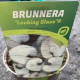 Brunnera ' Looking Glass' 3ltr pot