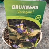 Brunnera 'Variegata'