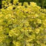 Euphorbia 'Ascot Rainbow' 1ltr pot