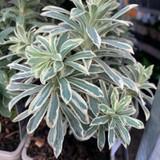 Euphorbia 'Silver Swan' 1ltr pot