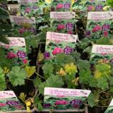 Geranium 'Russell Prichard' 1ltr pot