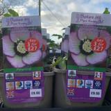 Helleborus orientalis 'Spring Midnight'  3ltr pot