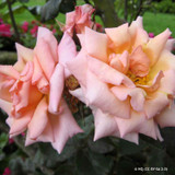 Shot Silk - Climbing Rose