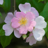 Smarty - Shrub Rose