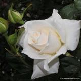 White Symphony - Floribunda