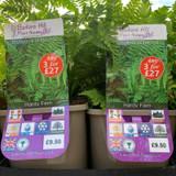 Dryopteris  dilatata - 3ltr pot (Fern)