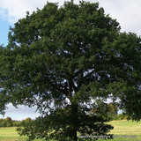 Quercus robur (English Oak) - 8/10cm (potted)