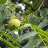 Juglans nigra (Black Walnut) 12/14cm (15ft)