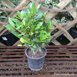 Potted Bay Plant (Laurus nobilis)