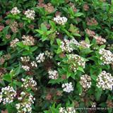 Viburnum tinus - 3ltr