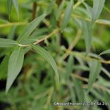 Salix alba 'Vitellina' 200/250cm