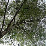 Betula pendula (Silver Birch) - 6/8cm