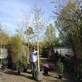 Betula pendula (Silver Birch) - 12/14cm