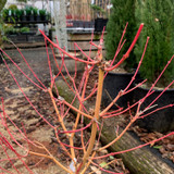 Acer palmatum 'Bi hoo' - 10ltr pot