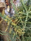 Acacia pravissima -15ltr pot