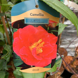 Camellia 'Adolphe Audusson' - 3ltr pot