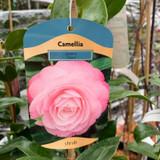 Camellia 'Desire' - 3ltr pot