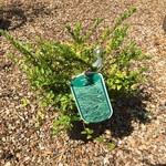 Lonicera pileata 'Maygreen' -2ltr pot