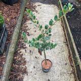 Ilex aquifolium 'J. C. Van Tol' - 4ltr pot