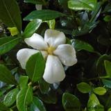 Gardenia jasminoides 'Kleim's Hardy - 3ltr pot
