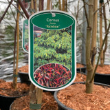 Cornus florida 'Rainbow' - 2ltr pot